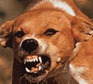 rabid-terrier