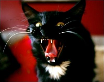 cat20hissing
